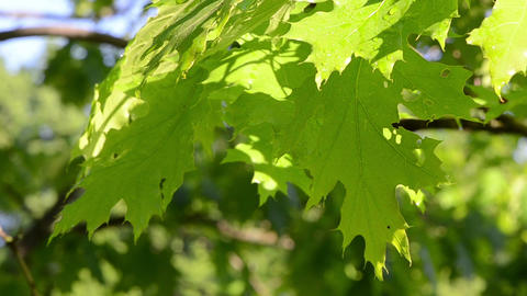 Bright wet oak tree branch twig leaves move in morning wind Footage