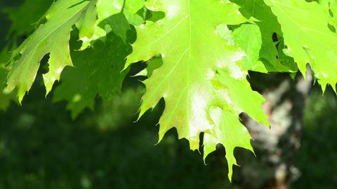 wet sunlit oak tree branch twig leaves move in morning wind Footage