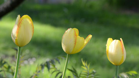 Three yellow tulip flower buds bloom and morning dew water drops Footage