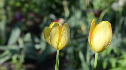 morning dew water drops on three yellow tulip flower buds bloom Footage