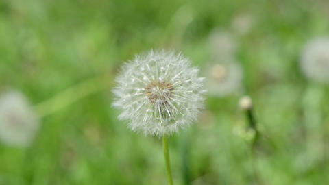 Deflorated round shape dandelion flower move in wind Footage