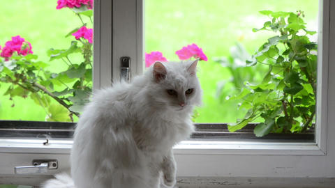 White fluffy cat pet sit on sill in front of window and flowers Footage