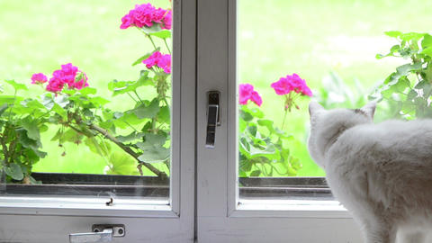 White fluffy cat pet sit on window sill walk away and other Footage