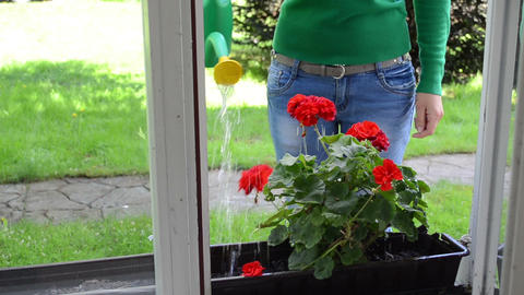 Housekeeper watering flowers on outdoor window sill with can Footage