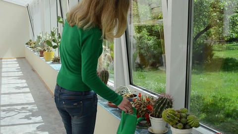 cactus plants grow in greenhouse and girl water watering-can Footage