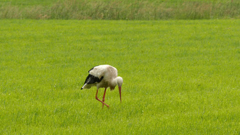 European white stork walking on meadow Footage