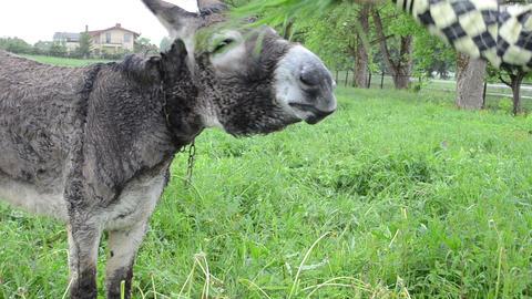 Donkey animal closeup and farmer woman girl hand feeding grass Footage
