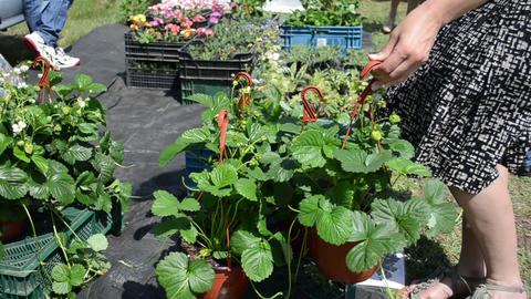 Hand take strawberry seedling plants in pots sold in market fair Footage