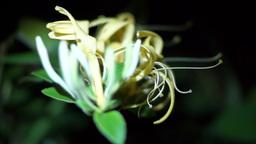 Flower Honeysuckle(Lonicera caprifolium), Italian Honeysuckle Footage