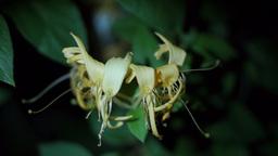 Flower Honeysuckle(Lonicera caprifolium), Italian Honeysuckle Live Action
