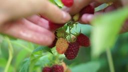 Woman Picking Ripe, Organic Raspberries In Garden Footage