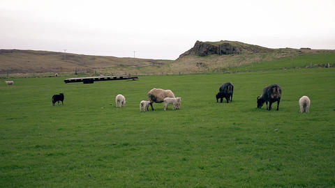 Sheep and young lambs grazing in a field ビデオ