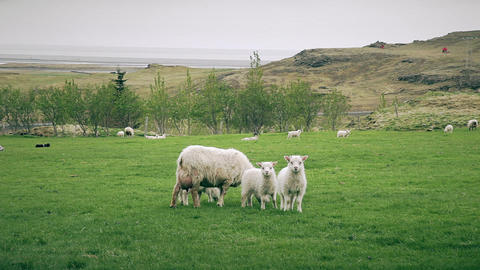 Sheep and young lambs grazing in a field ภาพวิดีโอ
