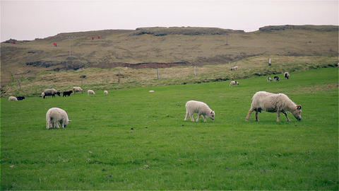 Sheep and young lambs grazing in a field Footage