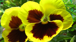 Closeup Video Of Viola Flower stock footage