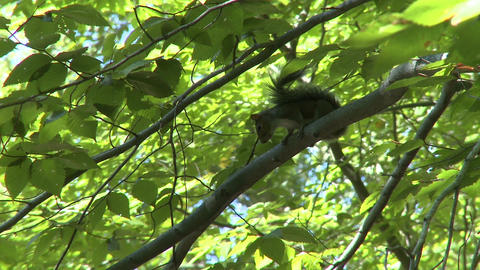 Squirrel twitching tail in tree (2 of 2) Footage