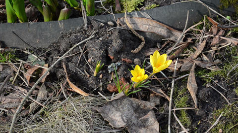 crocus saffron flower first spring yellow bloom grow in... Stock Video Footage