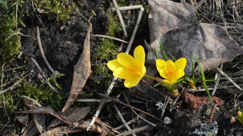 closeup saffron crocus flower bloom in spring Stock Video Footage