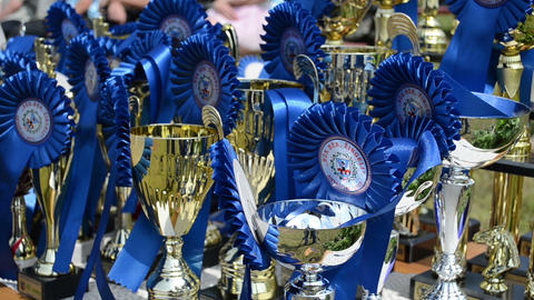 Closeup of horse race cups awards trophy prepared for winners Footage