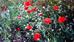 Opium Poppies (Papaver Somniferum) On The Field Swaying In The Wind stock footage
