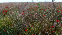 Opium Poppies (Papaver Somniferum) On The Field Swaying... Stock Video Footage