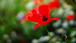 Opium Poppy (Papaver Somniferum) On The Field Swaying In... Stock Video Footage