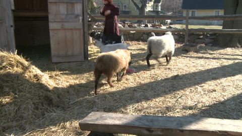 Woman feeding sheep and goats Live Action