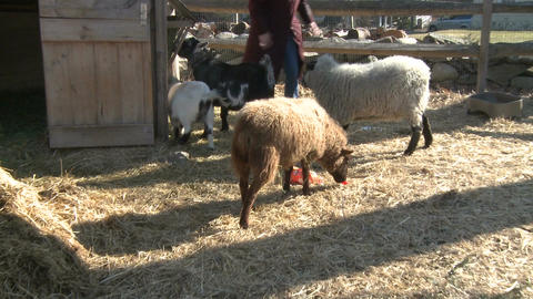 Woman feeding sheep and goats Stock Video Footage