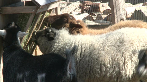 Sheep and goats eating Stock Video Footage