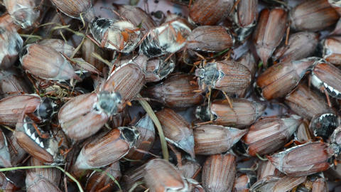 big pile of brown cockchafer chafer Footage