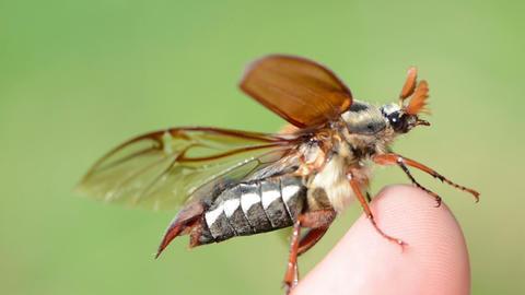 maybug crawls human finger tip antennas exploring... Stock Video Footage