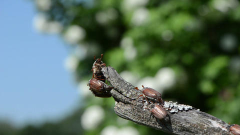 rut beetles boarded an branch of trying to fly Stock Video Footage