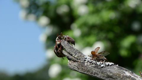melolontha huddled on branch tip crawling antennas exploring air Footage