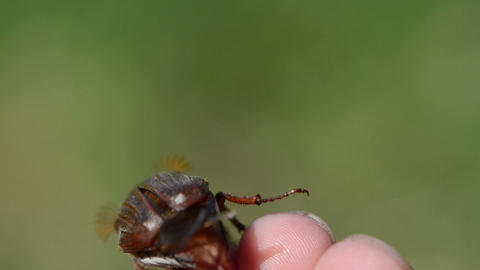 brown chafer crawling fingertips antennas exploring the air Stock Video Footage