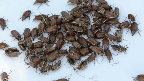 coleopteran bugs pile on white surface crawling over each... Stock Video Footage