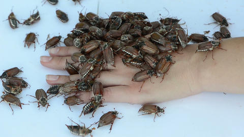 on the palm of woman huddled together bunch of large cockchafer Footage
