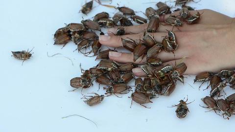 big ugly dark beetles crawls underneath female fingers Stock Video Footage