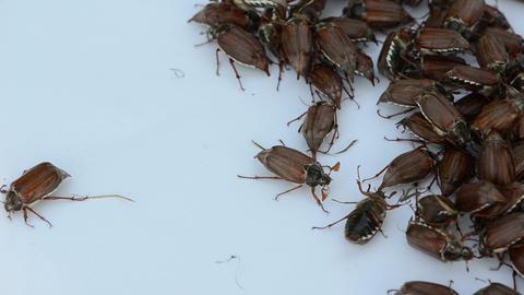 brown coleopteran beetles swarming around in pile Footage