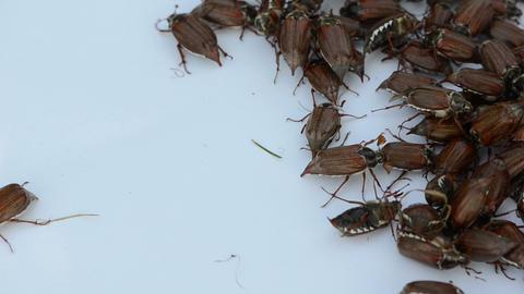 brown coleopteran beetles swarming around in pile Stock Video Footage