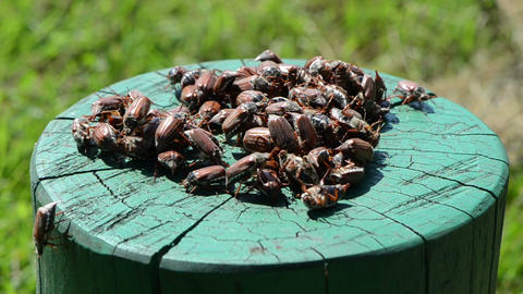 on green painted stump crawls bunch holding chafer summer... Stock Video Footage