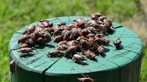 on green painted stump crawls bunch holding chafer summer time Footage