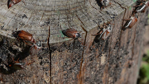 cracked stump edge crawling beetles spread wings trying fly Stock Video Footage