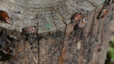 cracked stump edge crawling beetles spread wings trying fly Footage