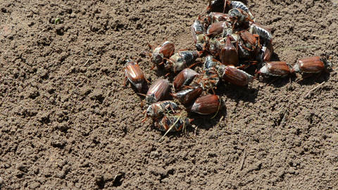beetles on ground crawling different directions Stock Video Footage