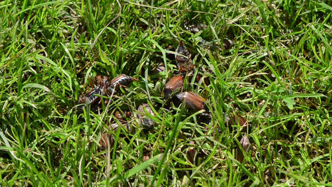 coleopteran bugs pile intruding to the green grass summer... Stock Video Footage