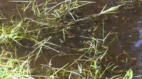 little tadpoles quiet floating in the water muddy surface Footage