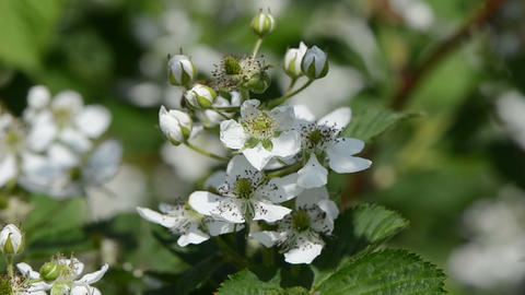 blossomed rubus caesius blackberries pedicle sways in the... Stock Video Footage