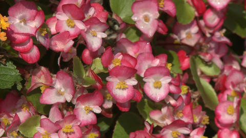Pink flowers with a Bumblebee on them Stock Video Footage
