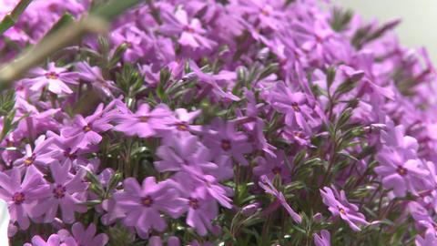 Purple flowers along the sidewalk (1 of 2) Stock Video Footage