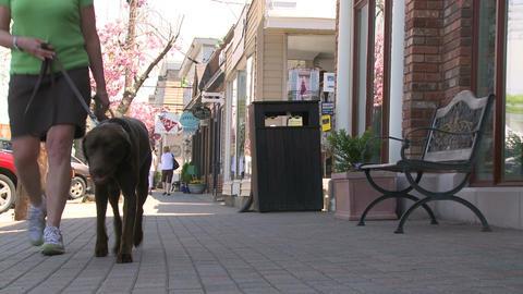 Woman walking her Chocolate Lab down the sidewalk (1 of 2) Footage